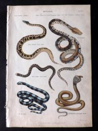 Richardson 1862 Hand Col Print. Boa Constrictor, Coral Snake, Rock Snake